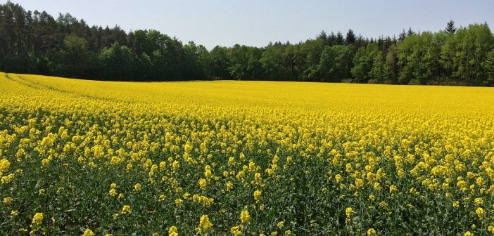 Řepka olejka začáná kvést a pole začínají žloutnout. Také máte pocit, že v Česku máme hlavně žlutá pole?